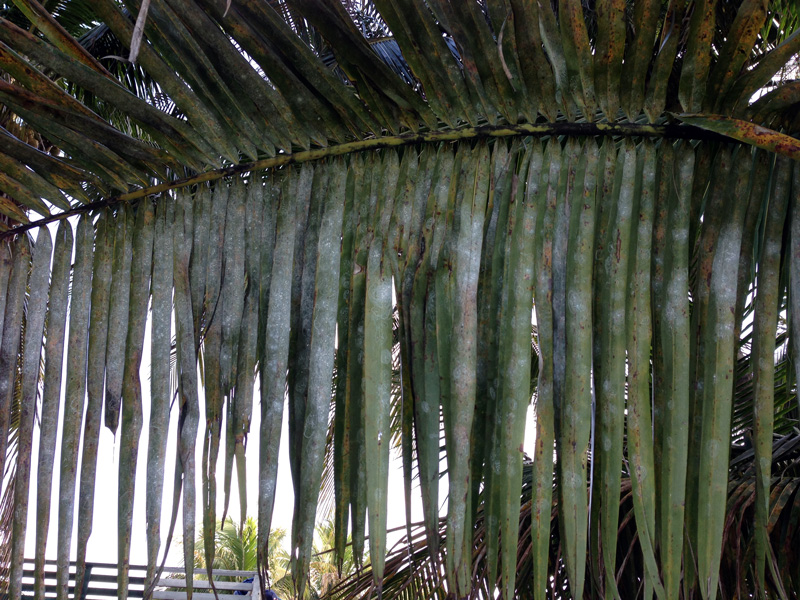 Spiral Whitefly treatments for palms and plants in Broward and Palm Beach