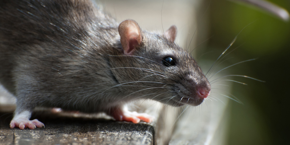 Rodent Control Broward Palm Beach