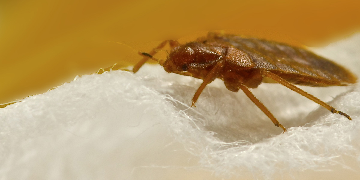 bed bugs spreading diseases