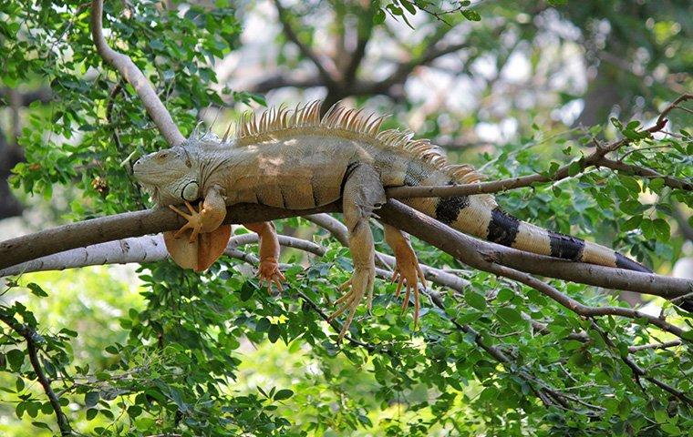 Iguana Control in Broward and Palm Beach