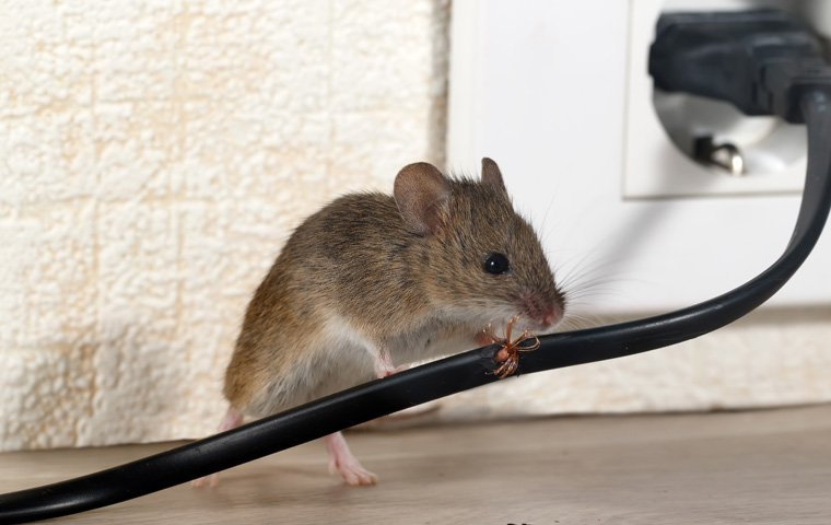 Rodent Control in Broward and Palm Beach